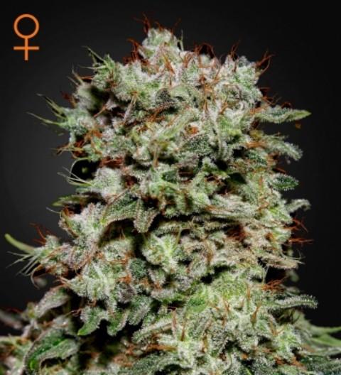 Kalashnikova Feminized Marijuana Seeds