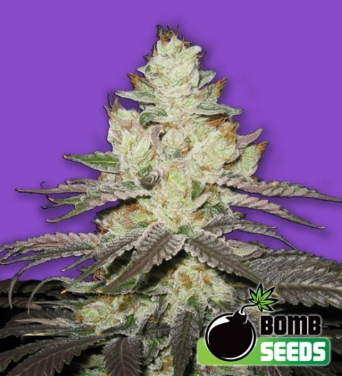 Killer Purps Feminized – Bomb Seeds