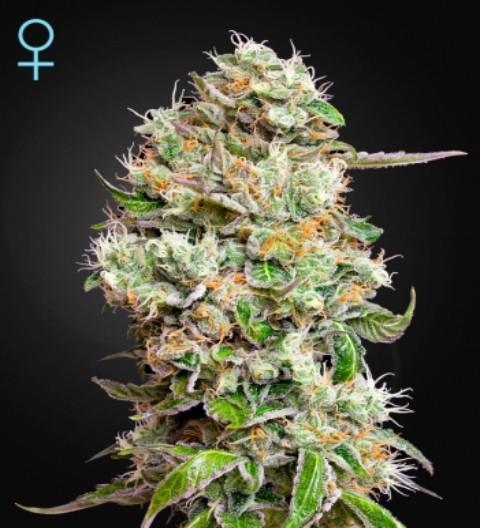 King's Kush Auto CBD Feminized Marijuana Seeds