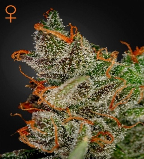 King's Kush Feminized Marijuana Seeds