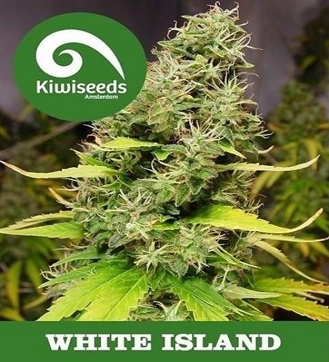 White Island by Kiwi Seeds