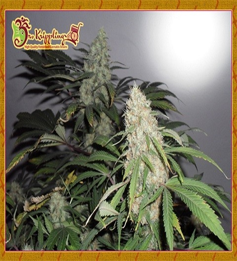 Kripple Roulette by Dr Krippling Seeds