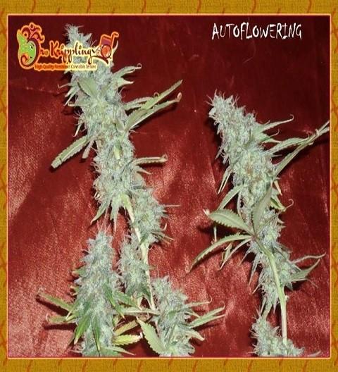 Krippleberry Feminized by Dr Krippling Seeds
