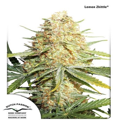 Lemon Zkittle by DP Seeds