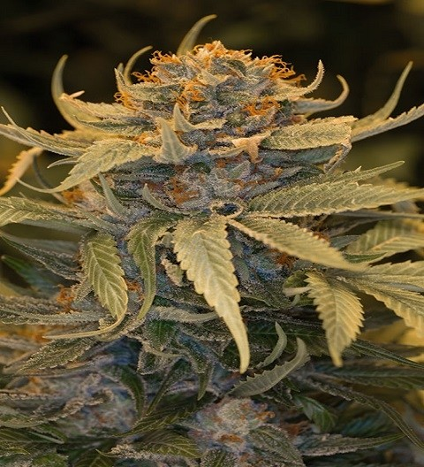 Lost Coast OG Feminized by HSO Seeds