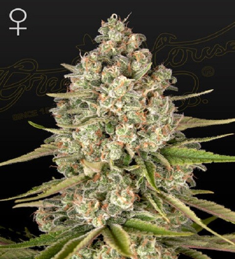 Lost Pearl Feminized by green House Seeds