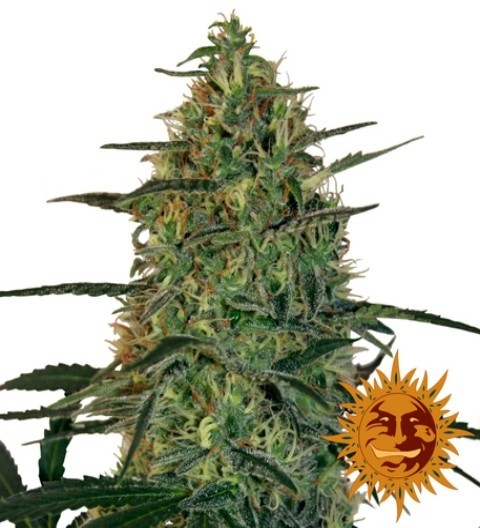 Malana Bomb Auto Feminized Marijuana Seeds