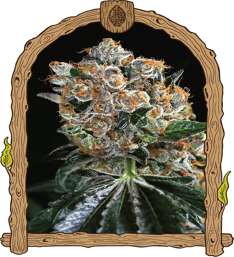 Malasana Cookies by Exotic Seeds