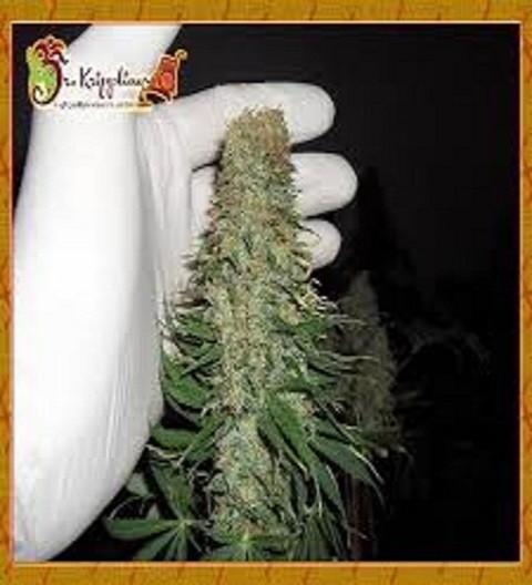 Mango Chutney Feminized by Dr Krippling Seeds