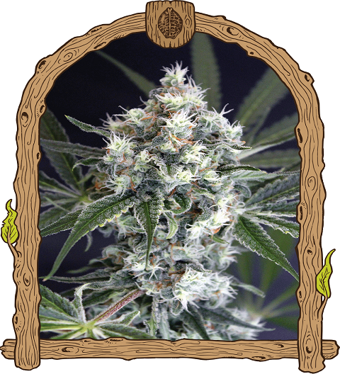 Medxotic Pure CBD by Exotic Seeds