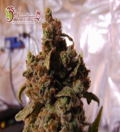 Mind Can'trol by Dr Krippling Seeds
