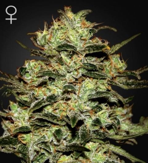 Moby Dick Feminized Marijuana Seeds