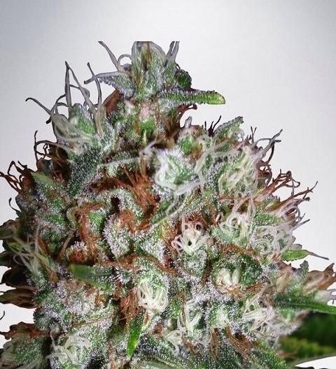 Big Bud XXL by MOC Seeds