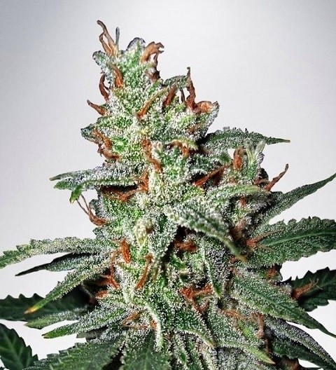 Carnival by MOC Seeds