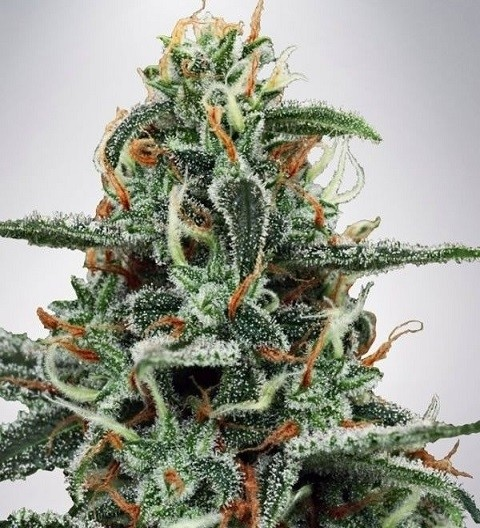 White Widow by MOC Seeds
