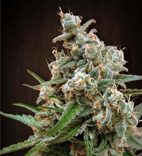 Nepal Jam Feminized by Ace Seeds