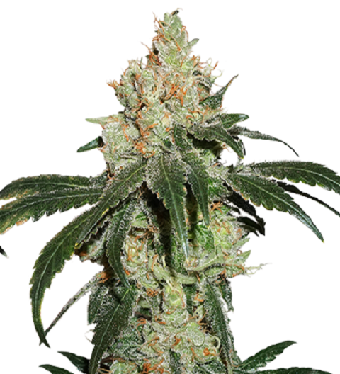 Nicole Cream by Seed Stockers