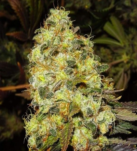 Ice Feminized - Nirvana Seeds