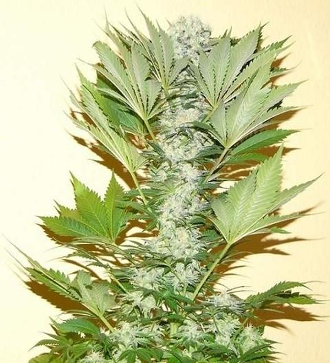 Misty Kush Regular - Nirvana Seeds