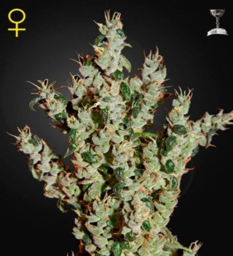 NL5 Haze Mist Feminized Marijuana Seeds