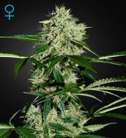 Northern Lights Auto Feminized Marijuana Seeds