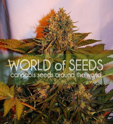 Northern Light x Big Bud Ryder by W.O.S. Seeds
