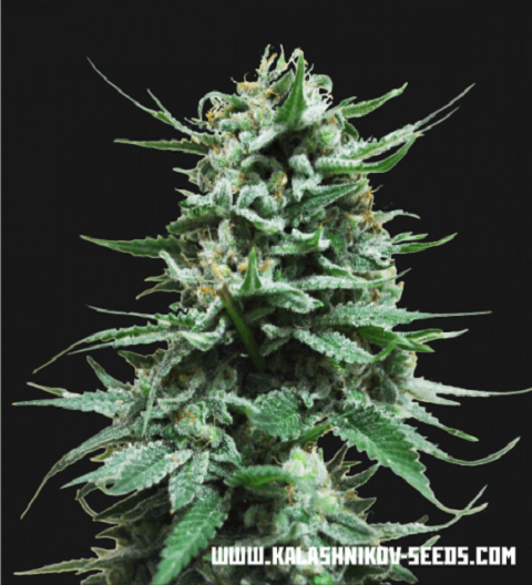 Northern Russian Auto by Kalashnikov Seeds