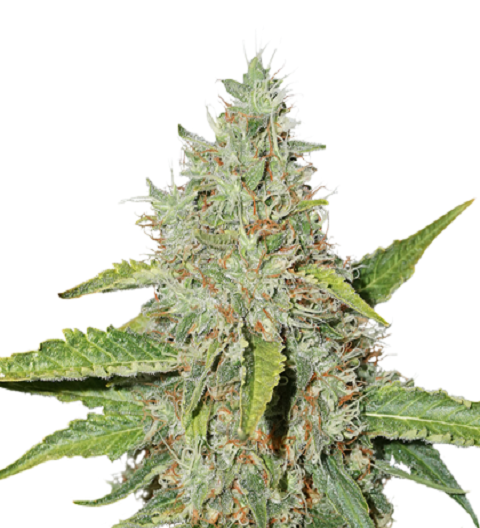 Northern Lights by Seed Stockers