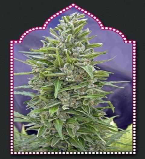 Auto Mix by OO Seeds