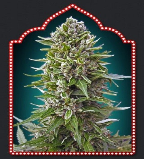 OO Seeds Autofem Collection #2
