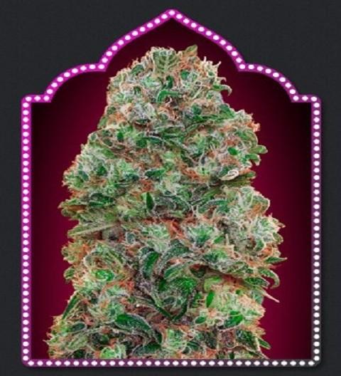 OO Seeds Bubble Gum