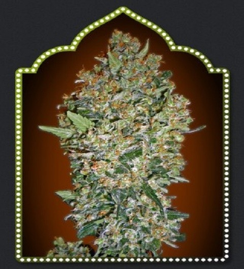 OO Seeds Fem Collection #1