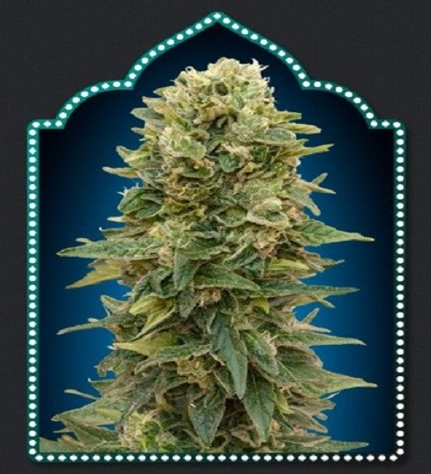 Female Mix by OO Seeds