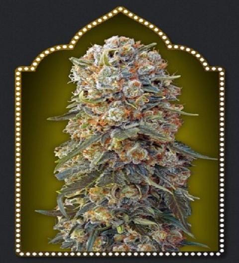 OO Seeds Sweet Critical