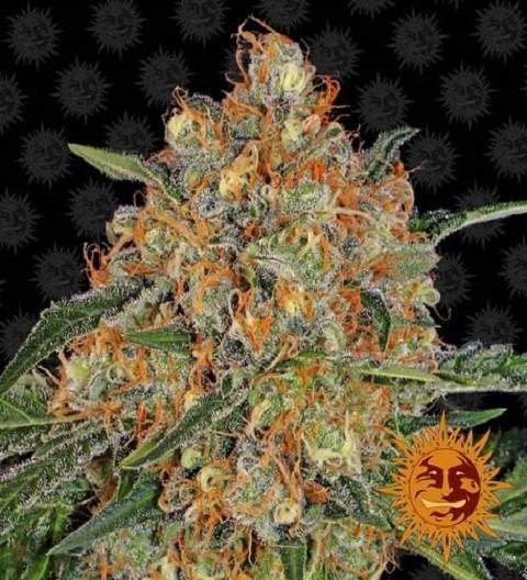 Orange Sherbert by Barney's Farm