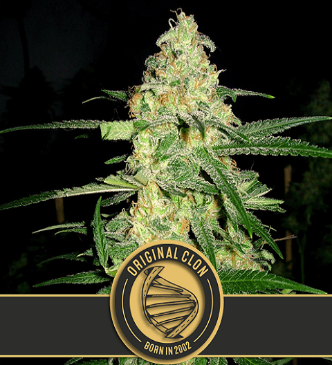 Original Clon by Blim Burn Seeds