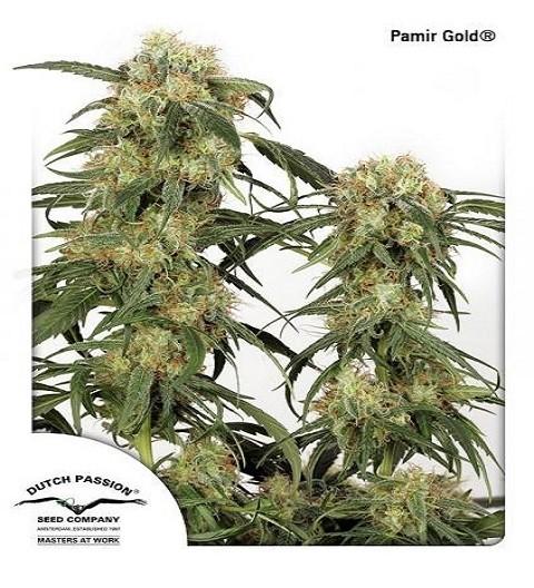 Pamir Gold by DP Seeds