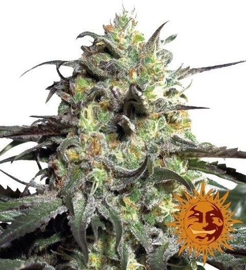 Peyote Cookies Feminized marijuana seeds