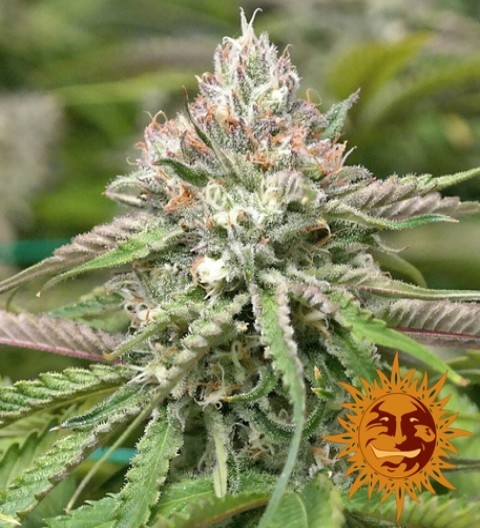 Peyote Critical Feminized - Barney's Farm