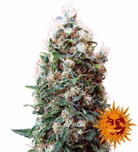 Phatt Fruity Feminized by Barney's Farm