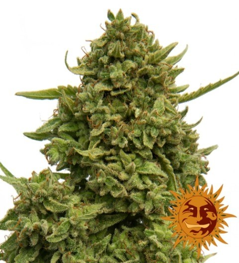 Pineapple Chunk Feminized Marijuana Seeds