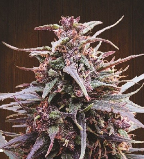 Purple Haze x Malawi Feminized by Ace Seeds