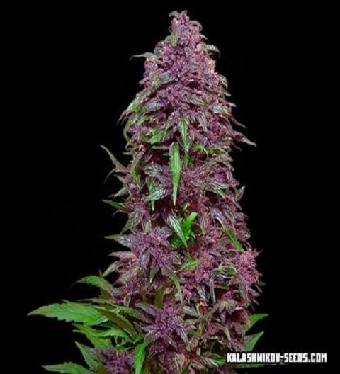 Purple Mazar Auto by Kalashnikov Seeds