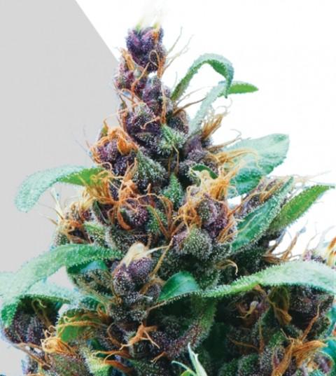 Purple Stilton Marijuana Seeds