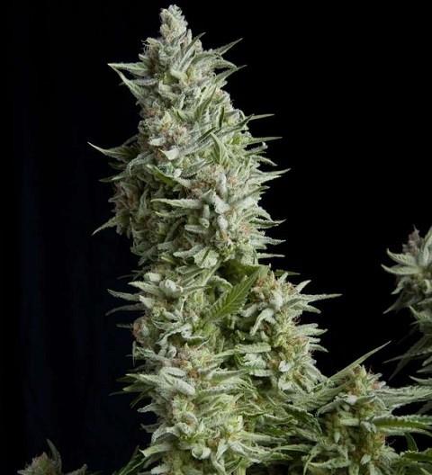 Alpujarenna by Pyramid Seeds