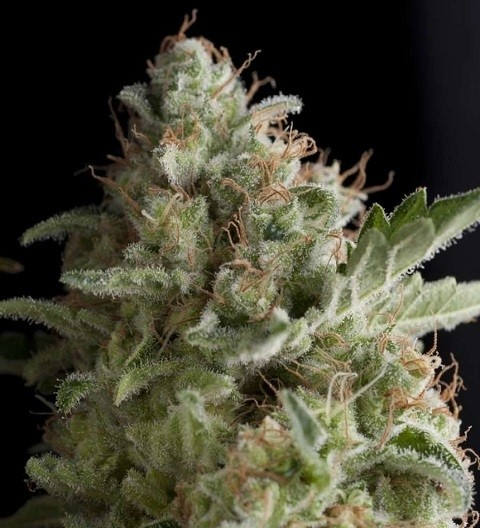 American Pie by Pyramid Seeds