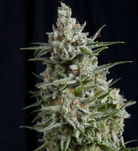 Anesthesia by Pyramid Seeds