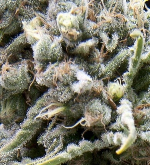 Auto White Widow Feminized - Pyramid Seeds