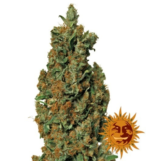 Red Diesel Feminized Marijuana Seeds