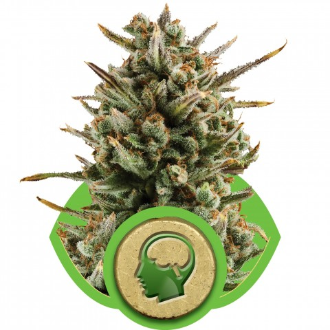Amnesia Haze Automatic by Royal Queen Seeds